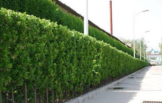 长沙景观设计公司,绿篱景观中的运用